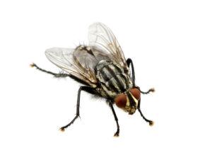 désinsectisation des mouches à Rixheim